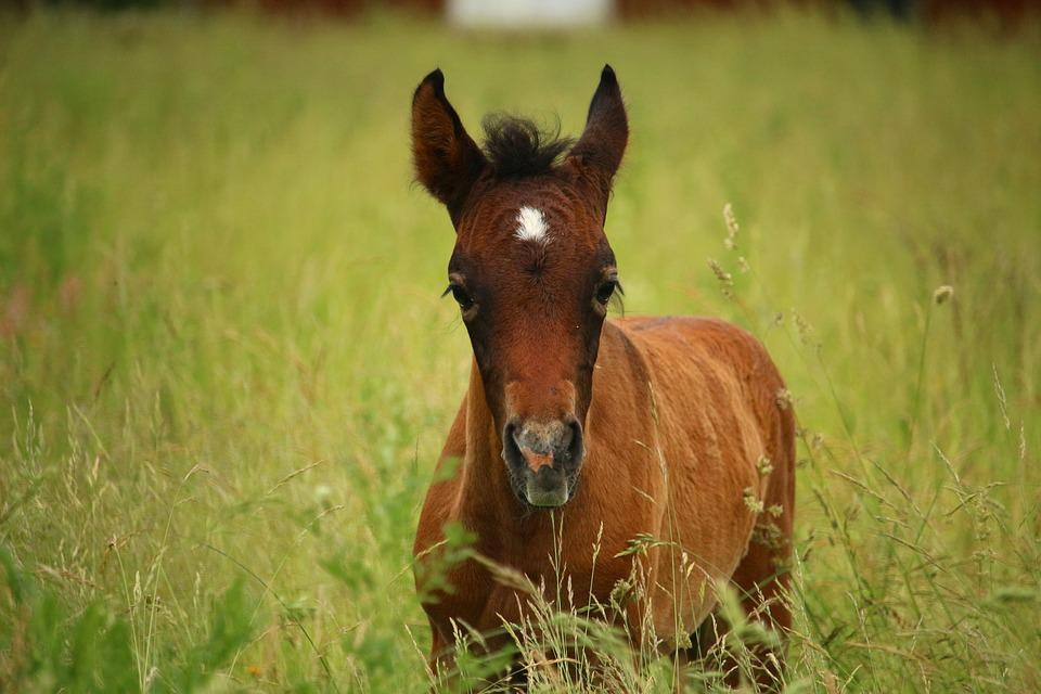 Horse, Foal, Suckling, Brown Mold, Thoroughbred Arabian