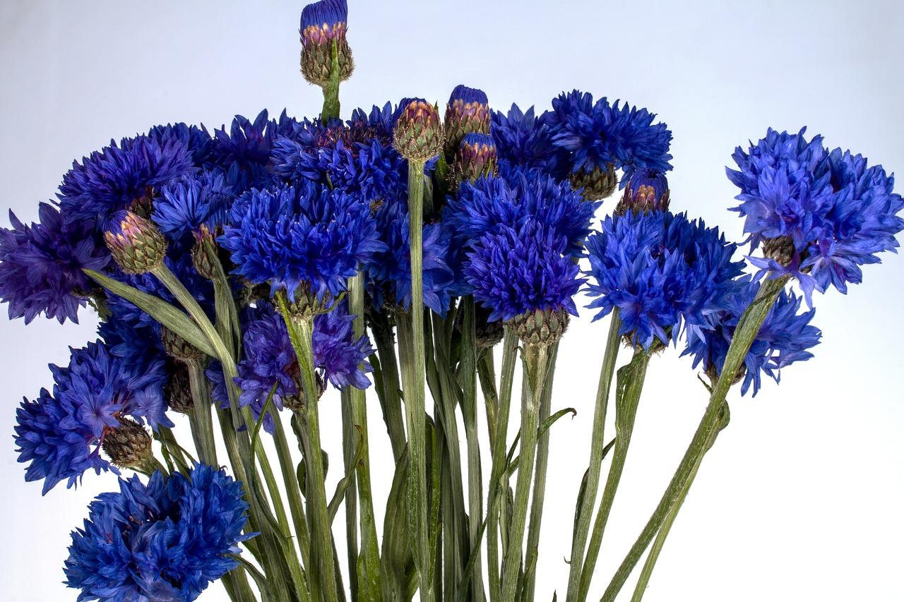Фото цветов василек