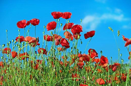 Poppy flower images pixabay download free pictures poppy flower klatschmohn blossom bloom red mightylinksfo