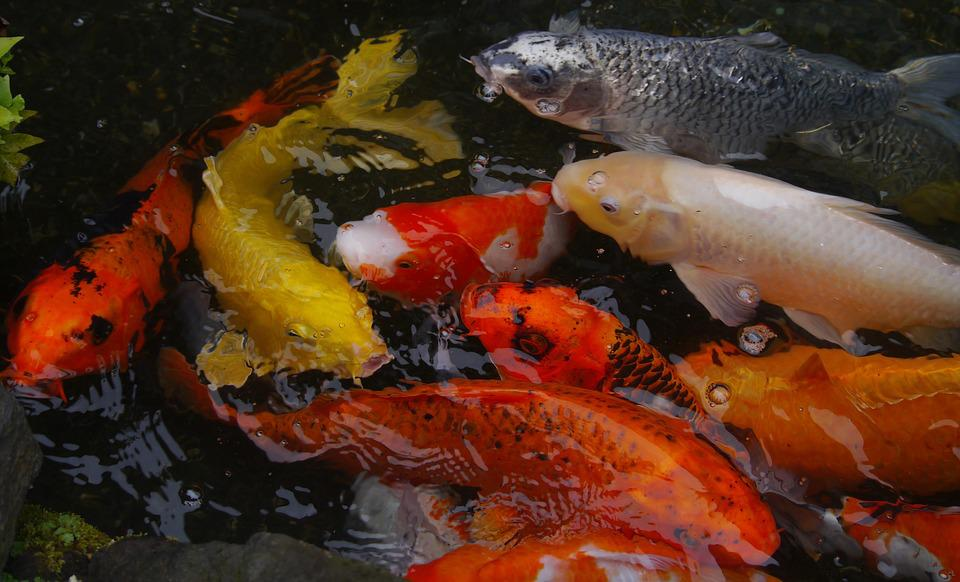 free photo aquarium fish colored carp koi free image