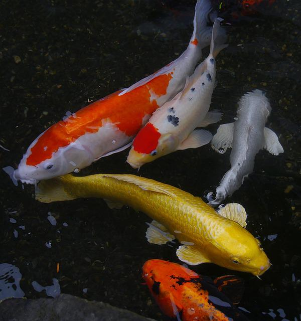 Free photo aquarium fish colored carp koi free image for Carpe koi aquarium 300 litres