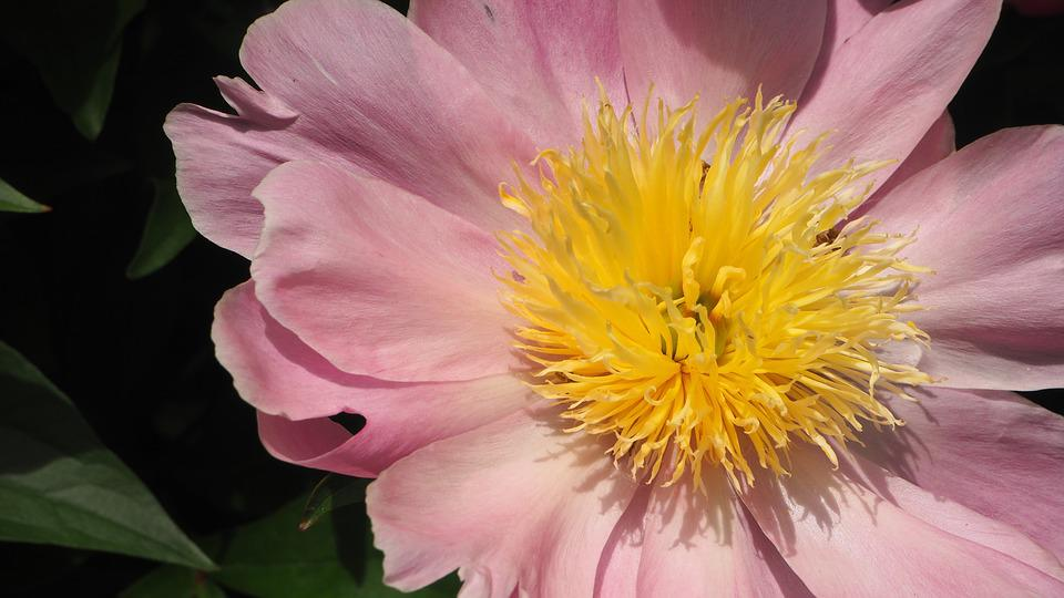 Pink yellow flower free photo on pixabay pink yellow pink flower yellow center macro bloom mightylinksfo