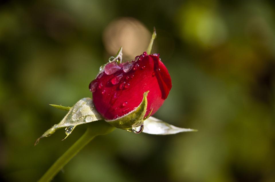 Rosa, Capullo, Rosebud, Red, Bouton, Rose, Fleur