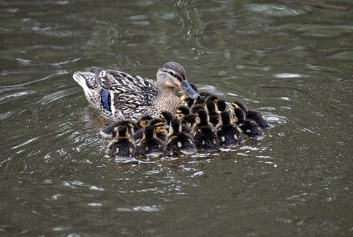 Mallard, Chicks, Pond, Swimming, Water