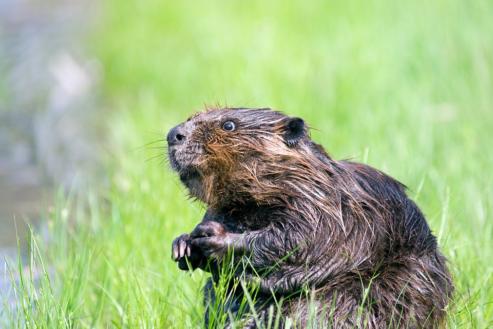 Beaver, Pond, Wildlife, Aquatic, Cute, Nature