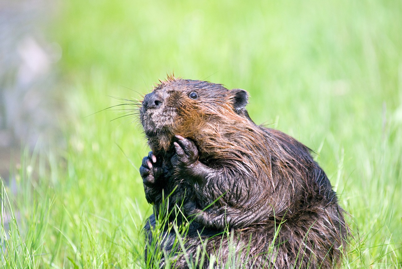 Provider of fur, food and floods, the beaver is a canadian symbol