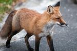 fox, wildlife, red