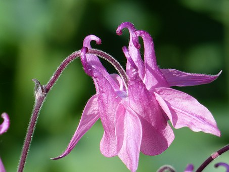 pink, columbine  free images on pixabay, Beautiful flower