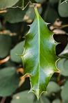 holly, ilex, leaf