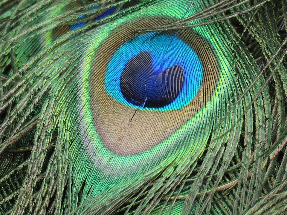 770 Gambar Burung Merak Hijau Terbaru