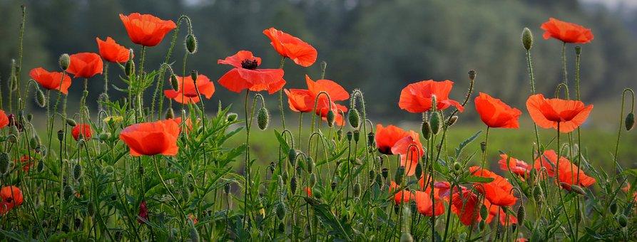 花, ケシ, 春, 自然, 赤い花, Facebookの背景, イーペル