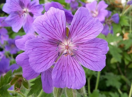 Cranesbill, Blossom, Bloom, Flower