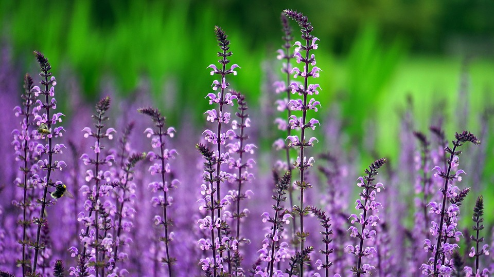 Lilacs, Flowers, Purple Flowers, Bloom, Blossom