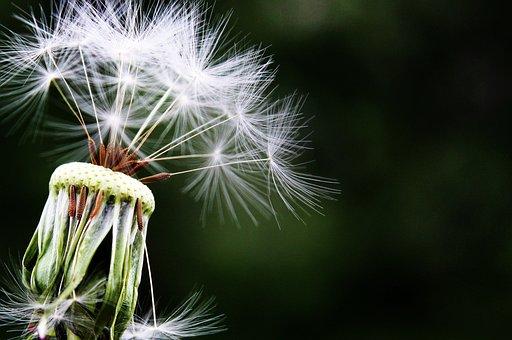 Dandelion, Seeds, Pointed Flower, Meadow