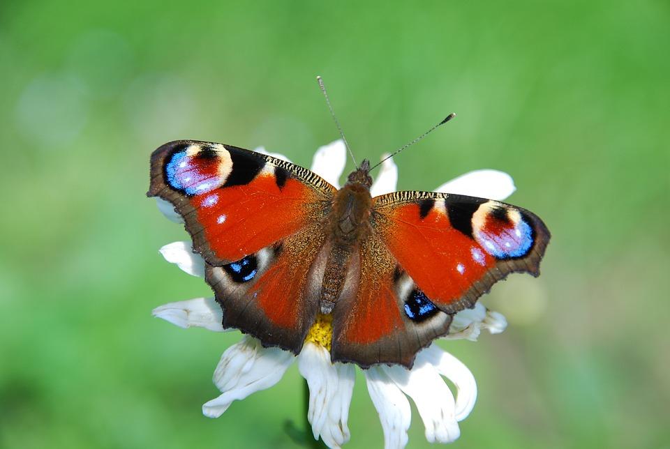Ingyenes fénykép: Pillangó, Páva, Nappali Pávaszem - Ingyenes kép ...