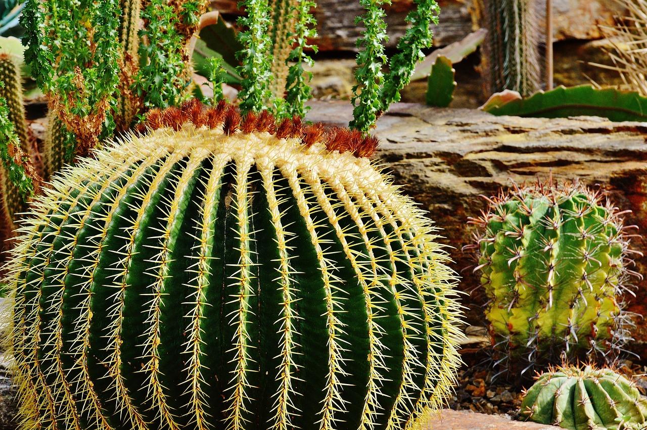 Фотографии кактусов в хорошем качестве