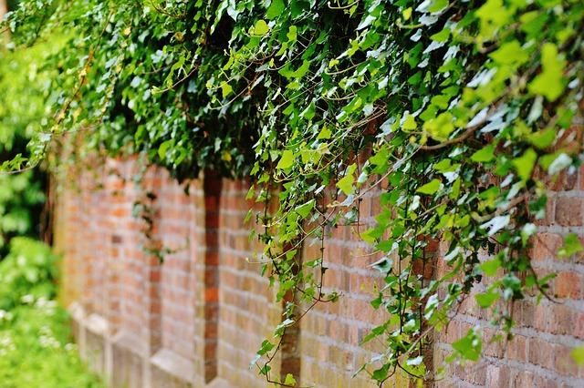 Wall Climbing Plants Ivy · Free Photo On Pixabay
