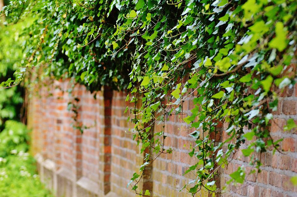 English Ivy Climbing a Wall