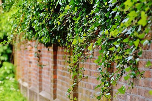 Wall, Climbing Plants, Ivy, Green, Plant