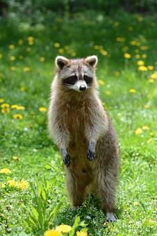 Racoon, Animal, Garden, Summer, Raccoon