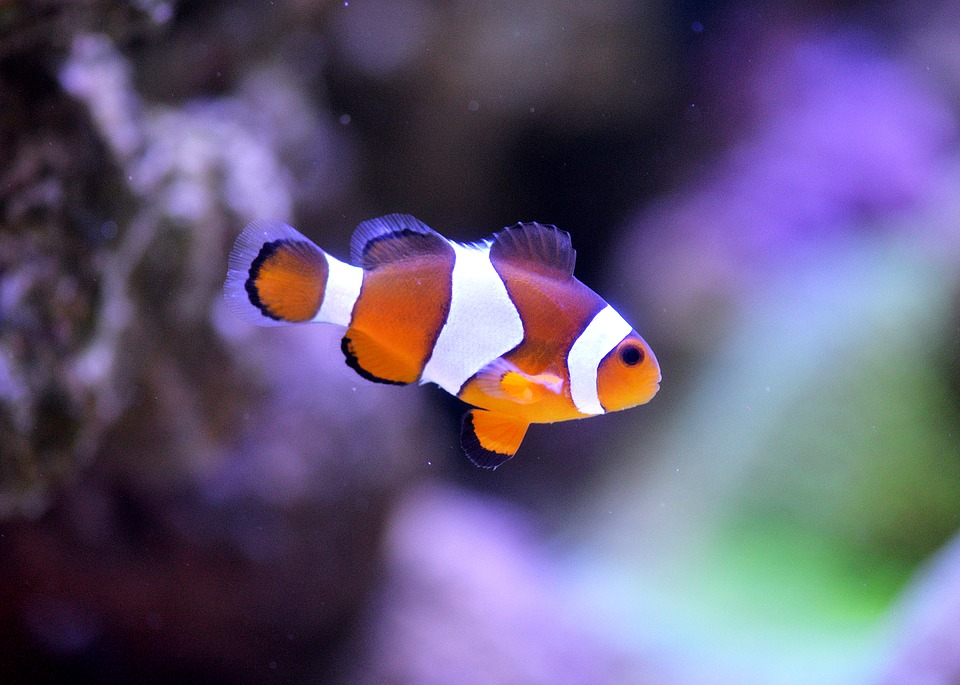 Free photo: Clownfish, Sea, Aquarium - Free Image on ...