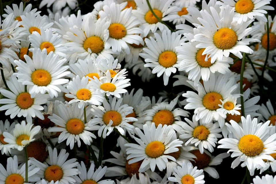 free photo daisies, flowers, whites, bouquet  free image on, Beautiful flower