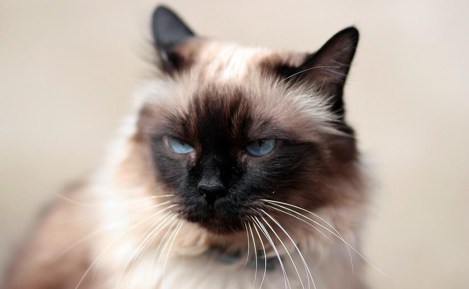 Gatto Siamese Occhi Blu Foto Gratis Su Pixabay