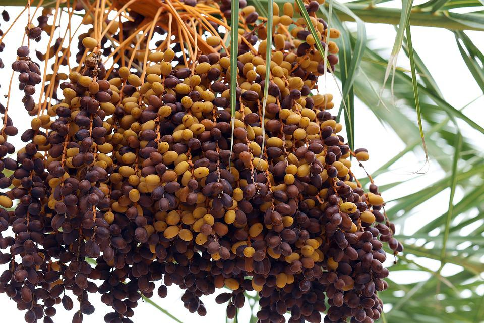 Palma, Date Palm, Dates, Tropical Fruit, Tenerife
