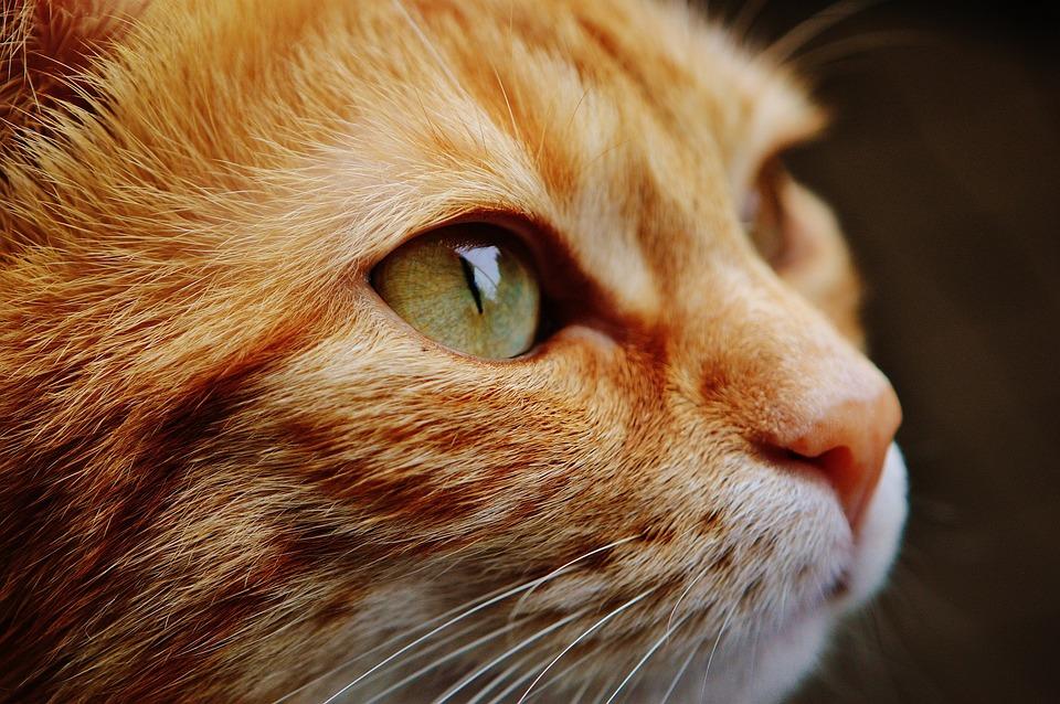 Cat, Faccia, Occhi, Ritratto, Mondo Animale, Animale