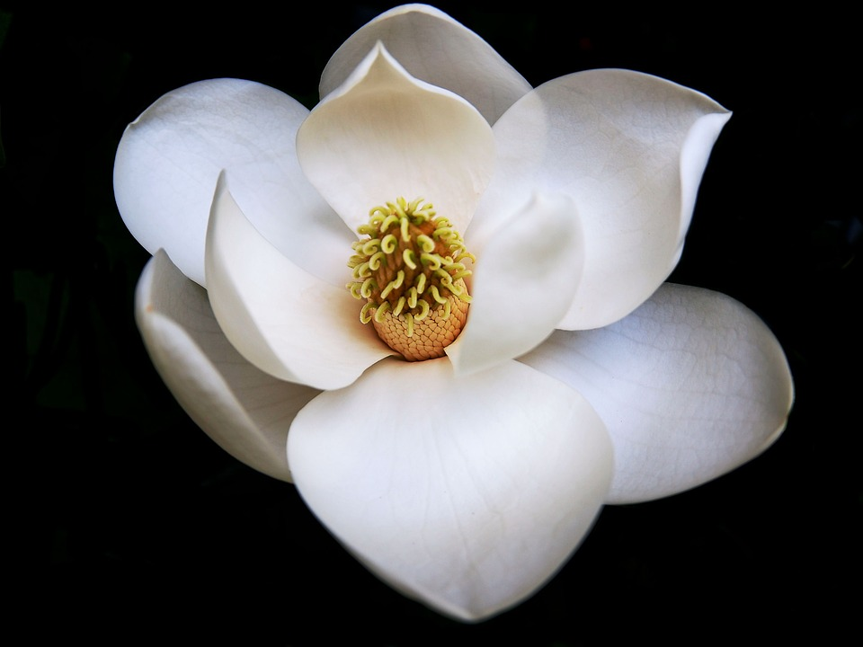 Perfect Magnolia Flower Free Photo On Pixabay