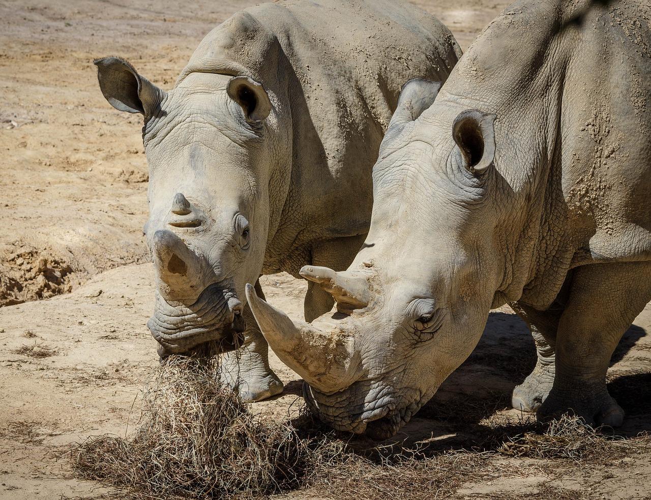 фото стадо носорогов столице столкнулся ненавистью