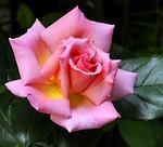 Climbing Rose, From PixabayPhotos