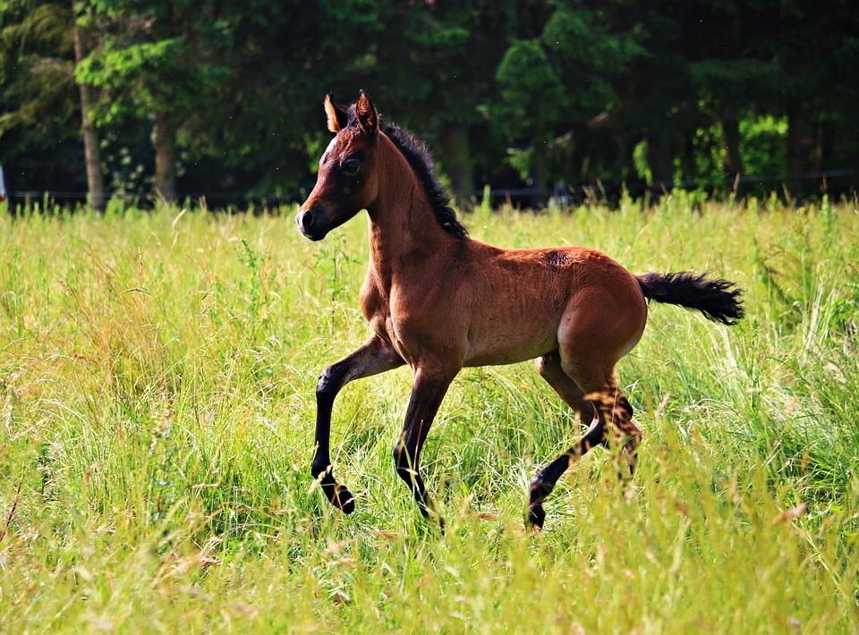 Horse, Foal, Brown Mold, Thoroughbred Arabian, Meadow
