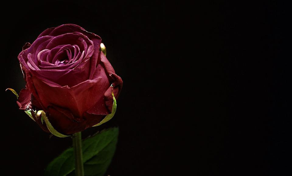 Rosa, Rosso, Fiore Rosa, Fiore, Vicino, Fiore Rosso