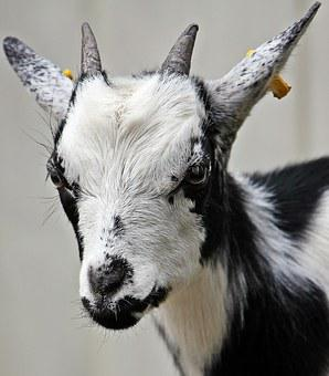 2,000+ Free Goat & Animal Images - Pixabay