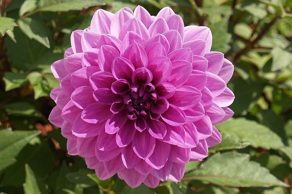 Flower Dahlia Purple Free Photo On Pixabay