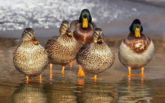 Ducks, Wild, Mallards, Birds, Water