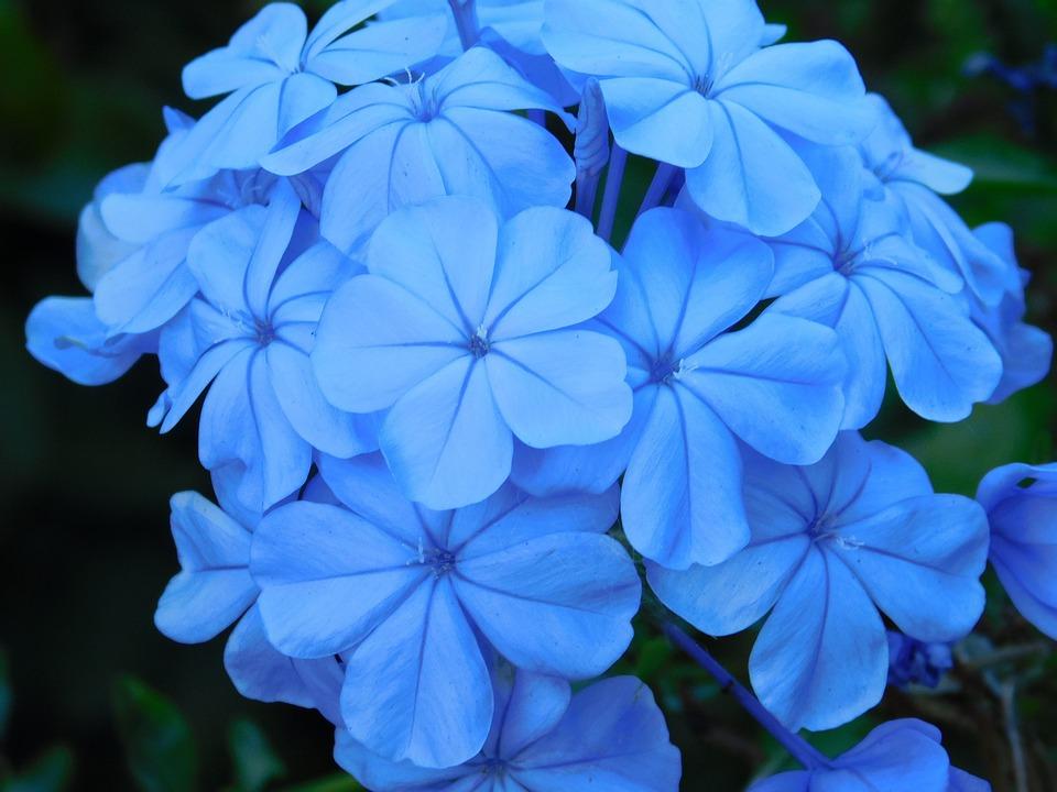 Fleurs bleu fleur bleue photo gratuite sur pixabay fleurs bleu fleur bleue plantes nature ptales thecheapjerseys Image collections