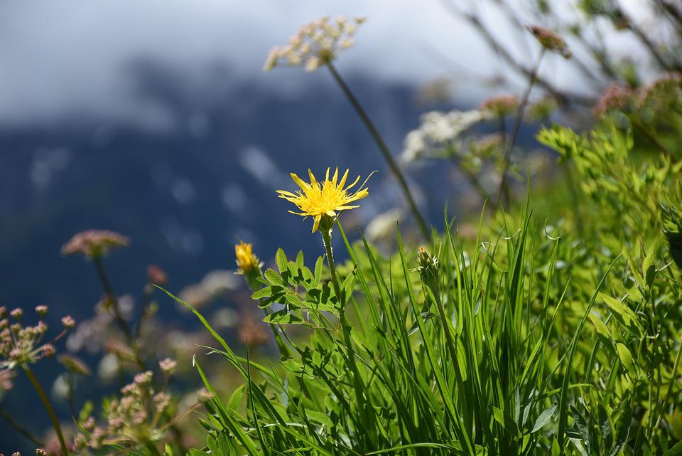 Fiori Gialli In Montagna.Fiore Giallo Fiori Di Montagna Foto Gratis Su Pixabay