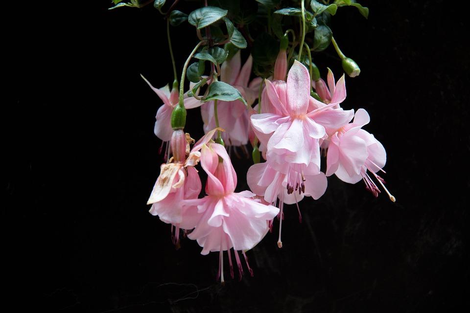 fleurs fushia jardin. Black Bedroom Furniture Sets. Home Design Ideas