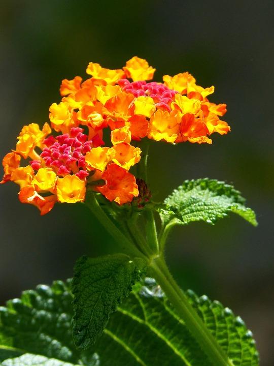 lantana blomst