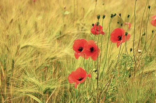 Cereals, Poppy, Poppies, Barley