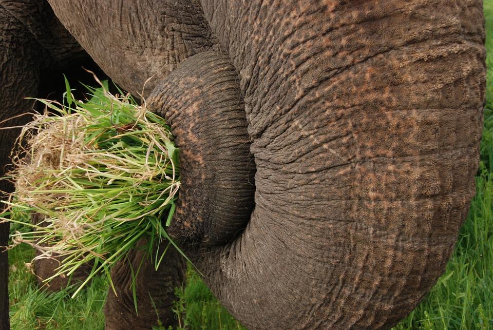 Gajah Batang Rumput Foto Gratis Di Pixabay