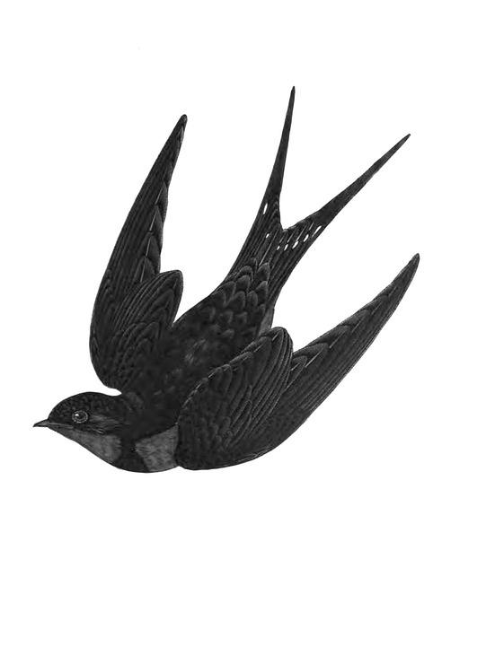 swallow bird nature free image on pixabay