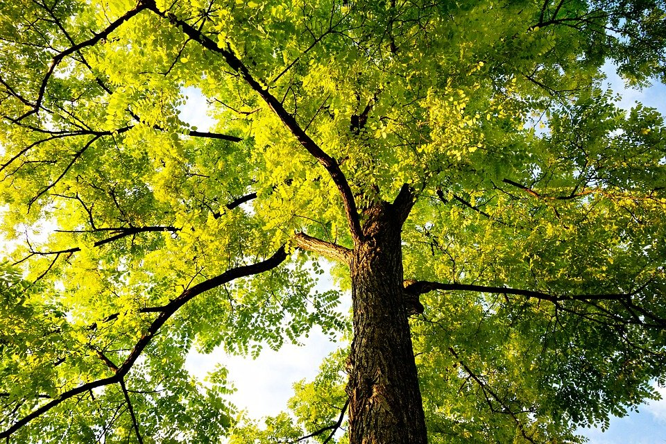 tree treetop trunk canopy branch leaf foliage & Free photo: Tree Treetop Trunk Canopy - Free Image on Pixabay ...