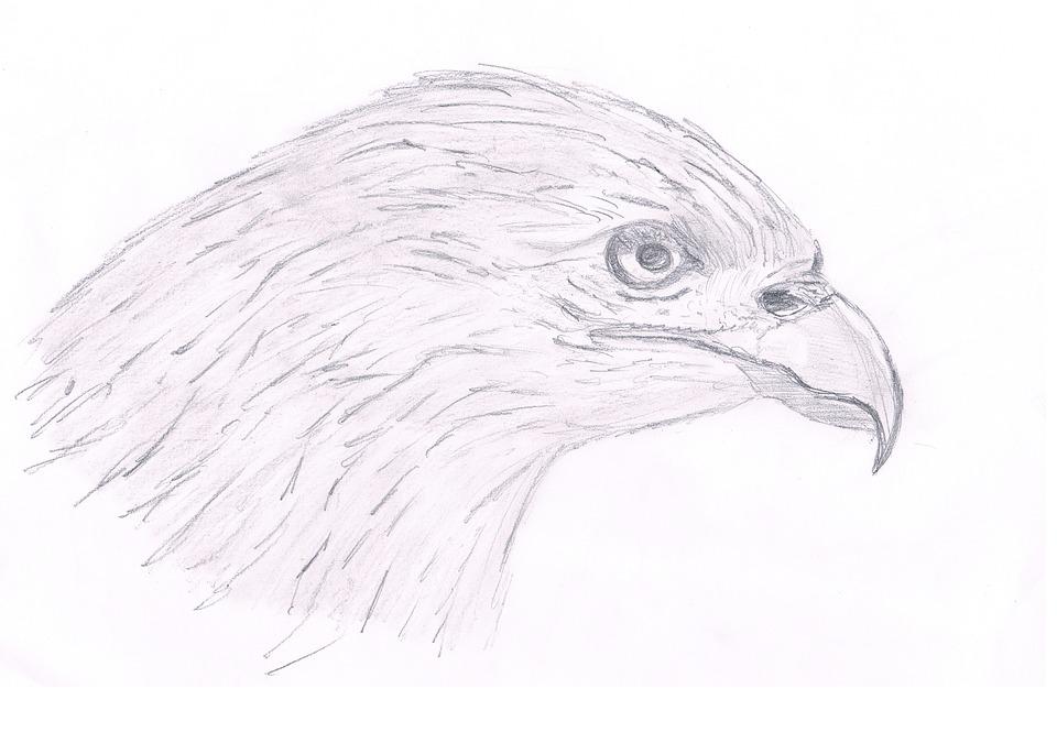 Illustration gratuite faucon ave dessin crayon image - Dessin de faucon ...