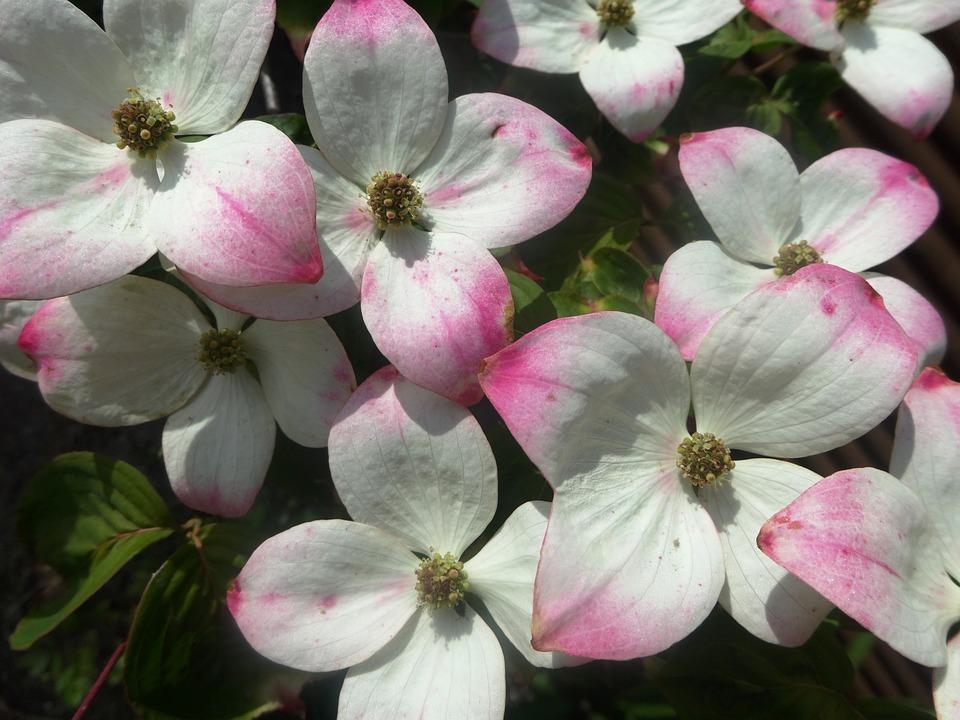 Strauch Blühen Weiß Blühenden · Kostenloses Foto auf Pixabay