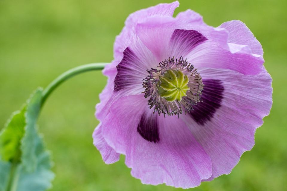 200 Free Purple Poppy Poppy Images Pixabay
