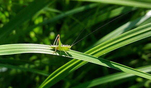 Grasshopper, Katydid