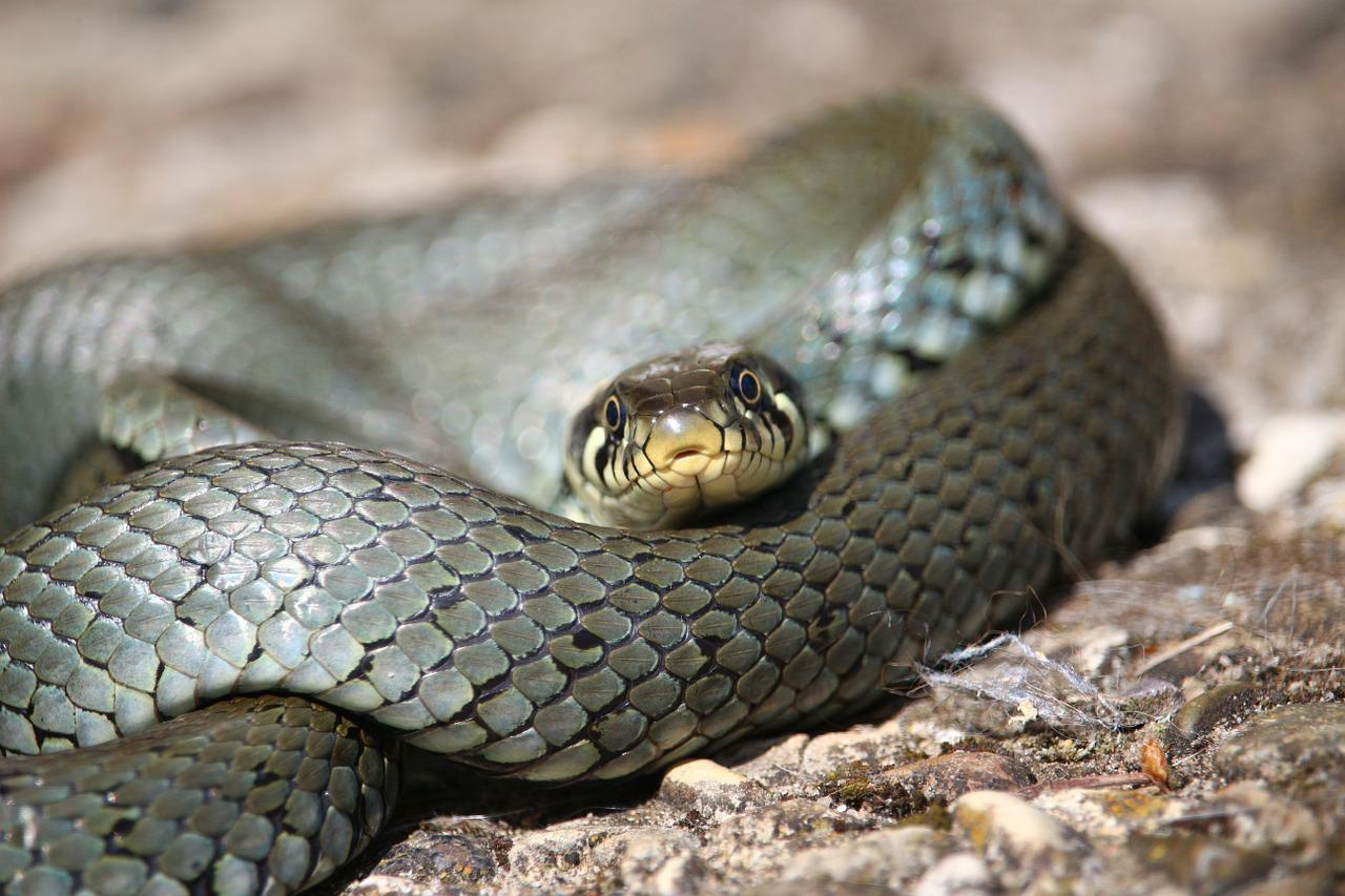 grass snake will cross the ropes